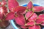 plant-propagation-coleus-008