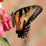 PHOTO: Tiger swallowtail butterfly on impatiens.