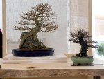 Two special trees this year: a root-over-rock trident maple and a broom-style Zelkova, both considered outstanding examples of their kind in the U.S.
