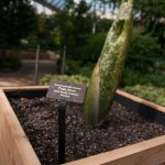 PHOTO: Titan arum bud (Amorphophallus titanum).