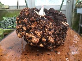 PHOTO: The freshly washed titan arum corm awaits weighing.