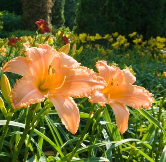 Daylilies in the West Flower Walk