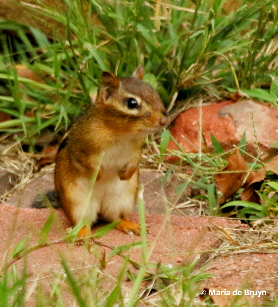 Lovely With Shovels So Pond Now Sits A Bit Above Ground Rocks Ipiled Up Around It Have Offered A Home To Eastern Chipmunks Eastern Chipmunk My World houzz-03 How To Kill Chipmunks