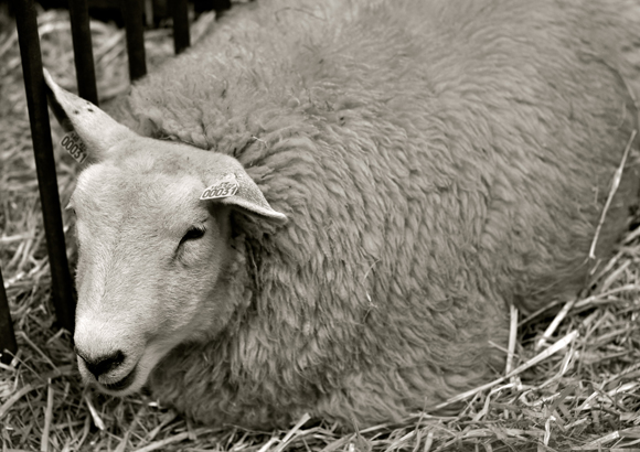 sheep-salon-de-lAgriculture