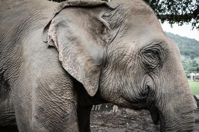 elephant-nature-park-chiang-mai