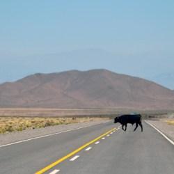 oversteken-weg-koe-stier-straat-bergen