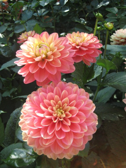 From Barbara Chase, a friend's dahlias in north Edmonds. Have a photo of dahlias — our official city flower — that you'd like to share? Email it to teresa@myedmondsnews.com