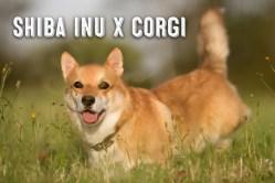 Small Of Corgi Shiba Mix