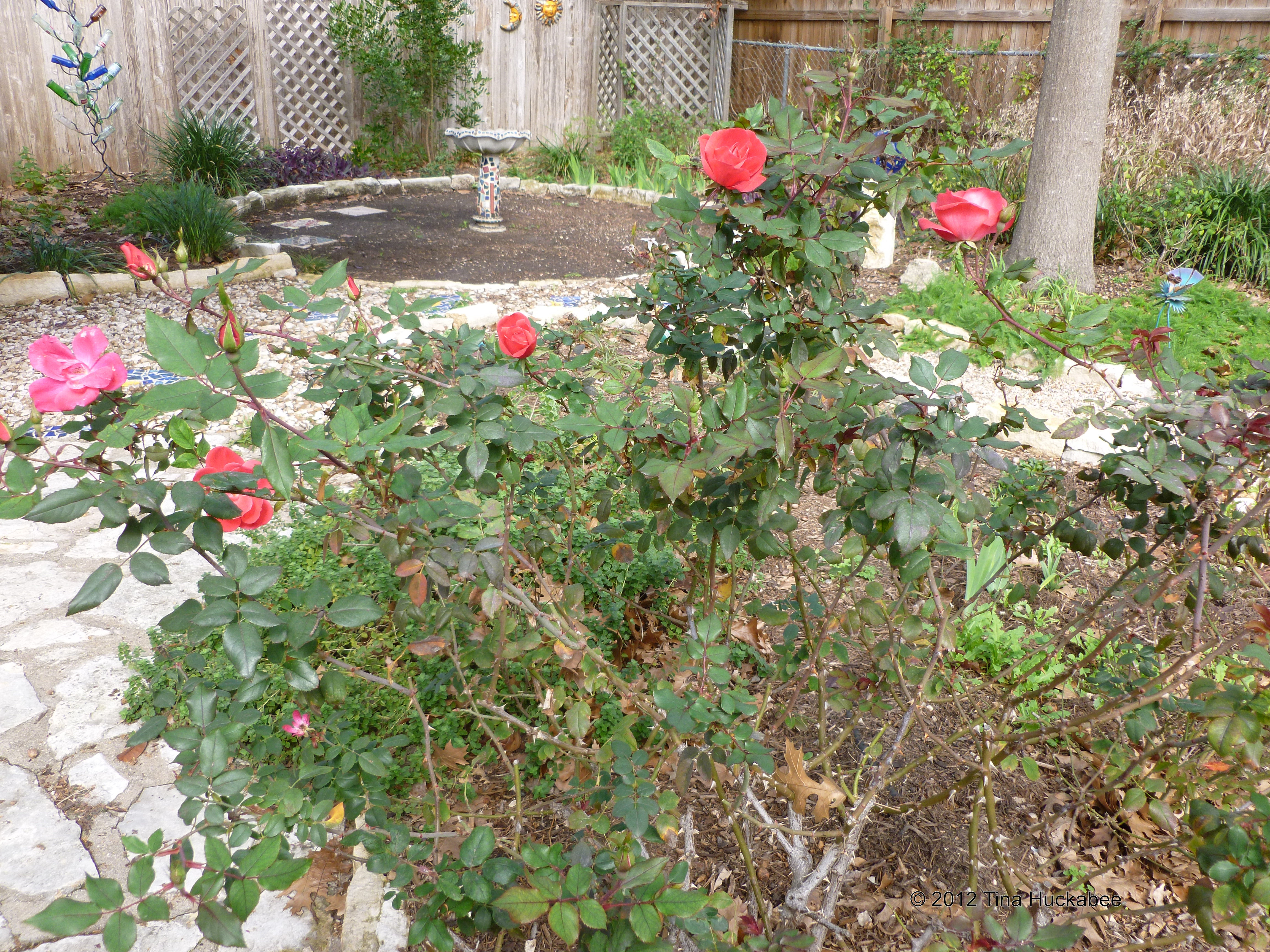 Fullsize Of Pruning Knockout Roses
