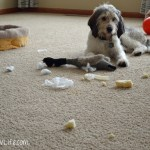 When Good Puppies Go Bad | GBGV | Wordless Wednesday
