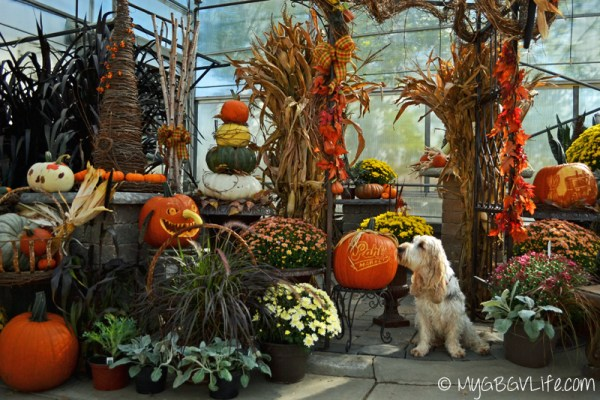 My GBGV Life sniffing the pumpkin at Pahl's market garden center