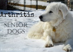 Kuvasz-Katie-in-snow-carous