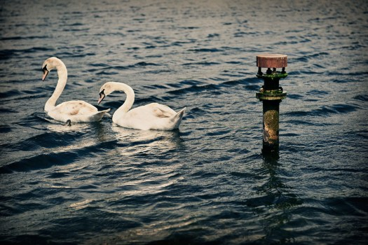 swans and pipe