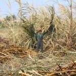Zuckerrohrernte 2016 - Stolzer Zuckerrohrarbeiter auf einem Feld der Firma Casa Grande S.A.A.