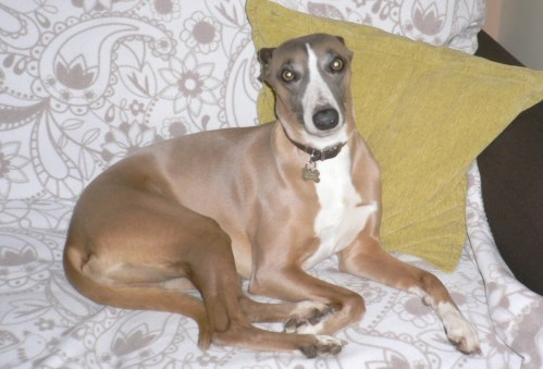 Medium Of Wendy The Whippet