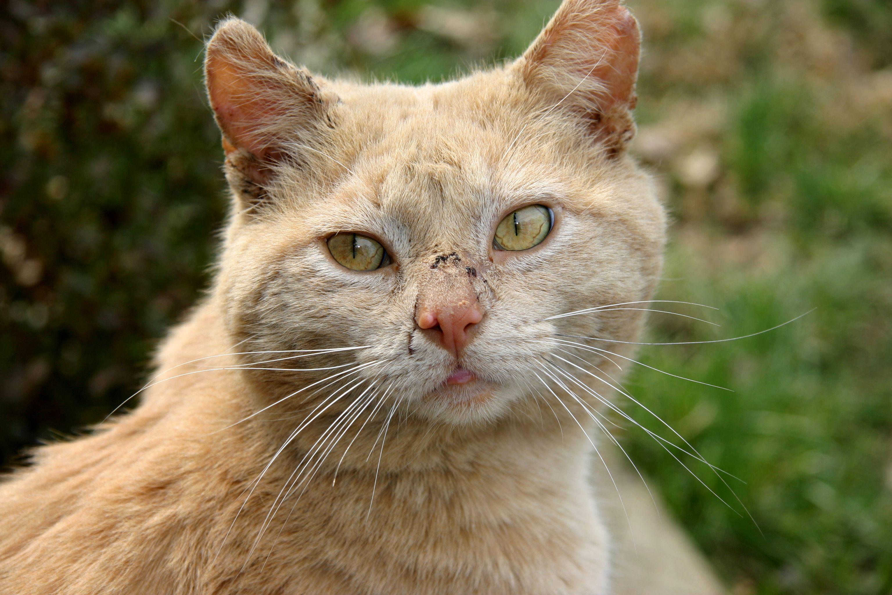 Fullsize Of Scabs On Cat