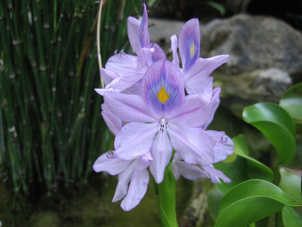 Water Hyacinth (Eichhornia crassipes), native to America.