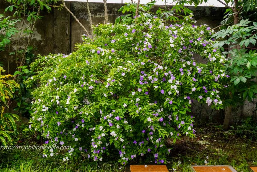 Our Yesterday, Today and Tomorrow (Brunfelsia panciflora) is doing really well now. It's VERY fragrant. On first day is lavender, fades to almost pure white after three days. In our Tigbauan, Iloilo garden.