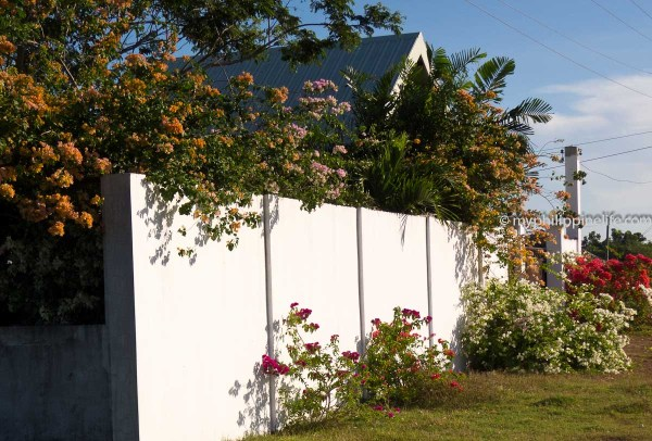Bougainvilleas climb over our fence