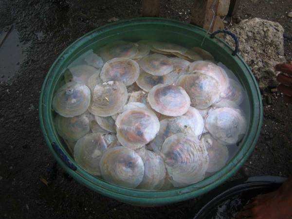 Bucket of Lamperong oysters, Oton Iloilo
