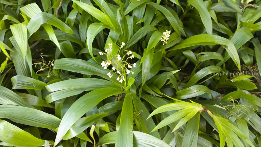 Can Lily of the Valley really be living here? This is at Sol y Mar Resort in Tigbauan, Iloilo