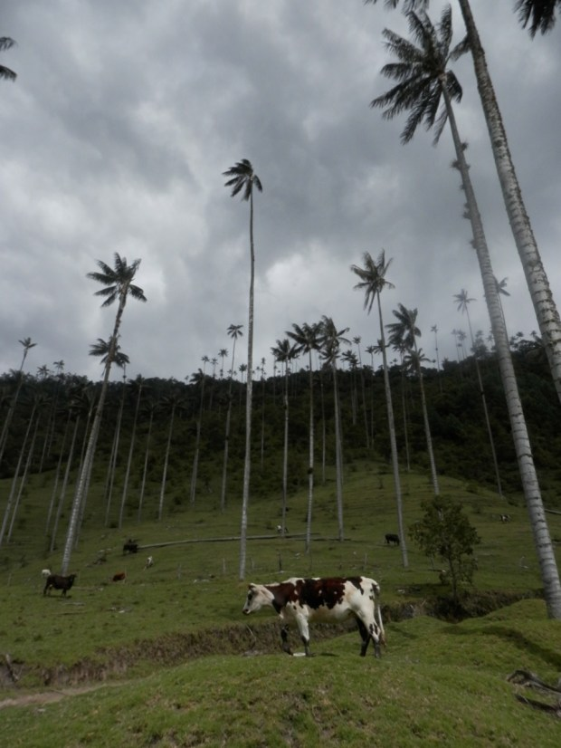Palm trees and cows