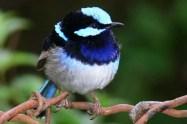 Superb_blue_Wren1