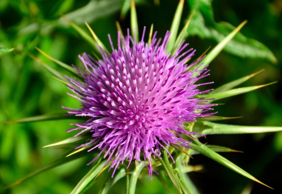 Flower head of milk thistle, silybum marianum