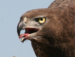 Martial Eagle Beak and Eyes