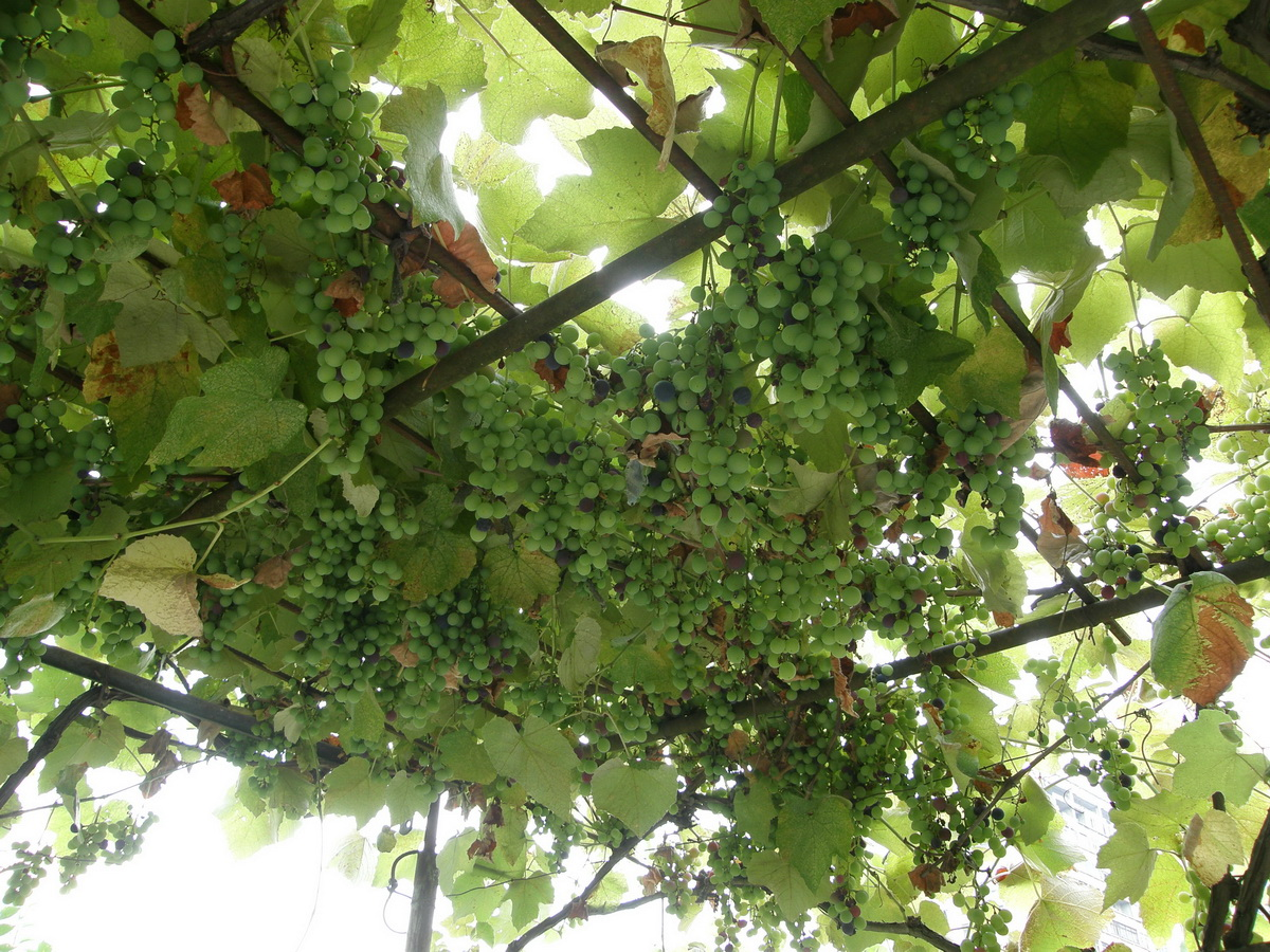 Вино+град=виноград
