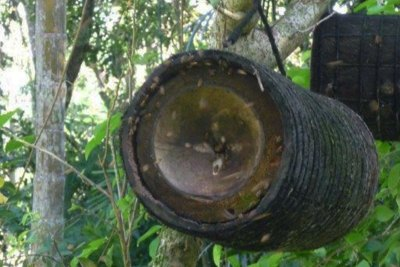 Here a Large Bamboo Trunk Fitted With Half a Coconut Husk Attracts Bees to Build a Hive