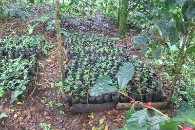 Coffee Seedlings Await Planting