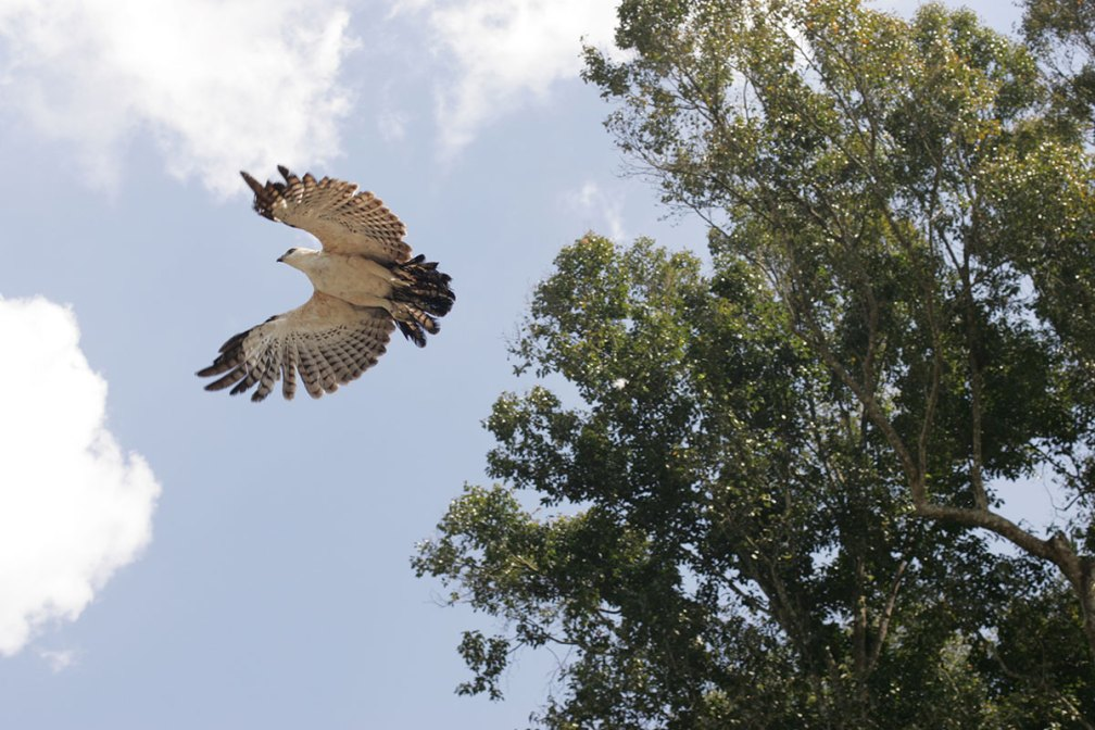 A Changeable Hawk Eagle is Released