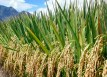 sri-hybrid-rice-field