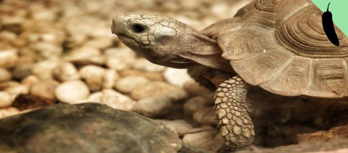 tartaruga_sexoanal