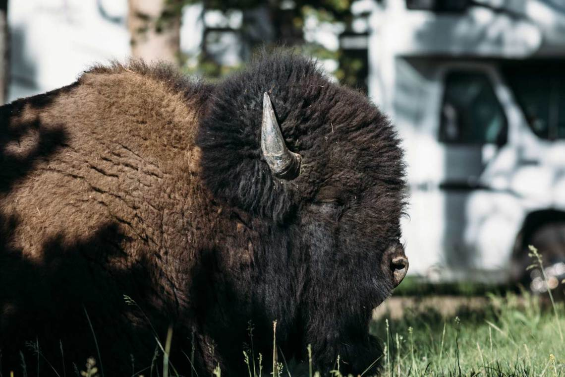 "Meet ""Pete"" the big bison we named and enjoy seeing around our campsite at Norris Campground."