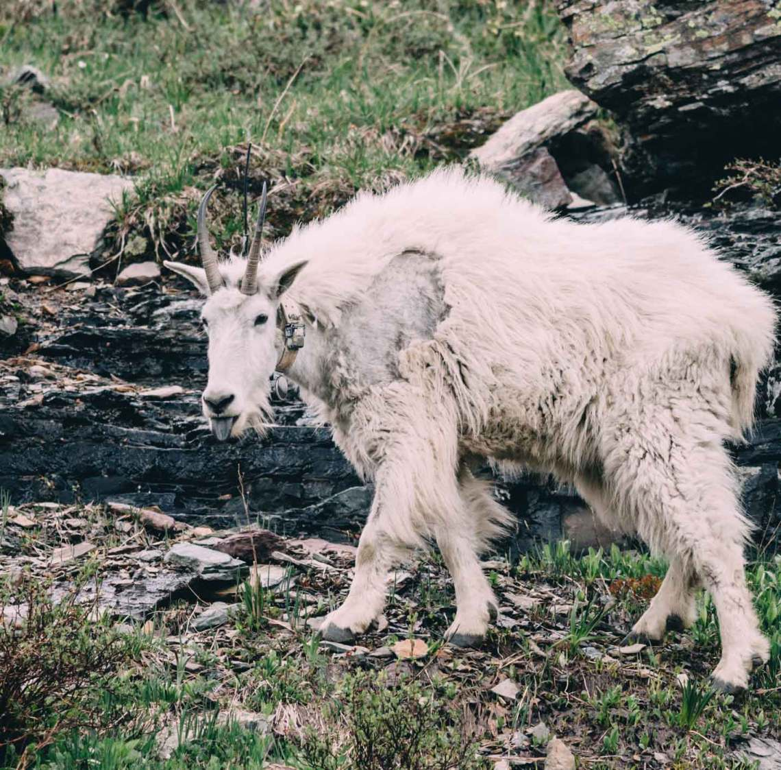 art_of_candid_animals_photography_mountain_goat_tongue