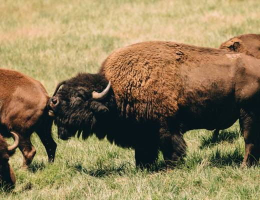 art_of_funny_animals_photography_bison_group