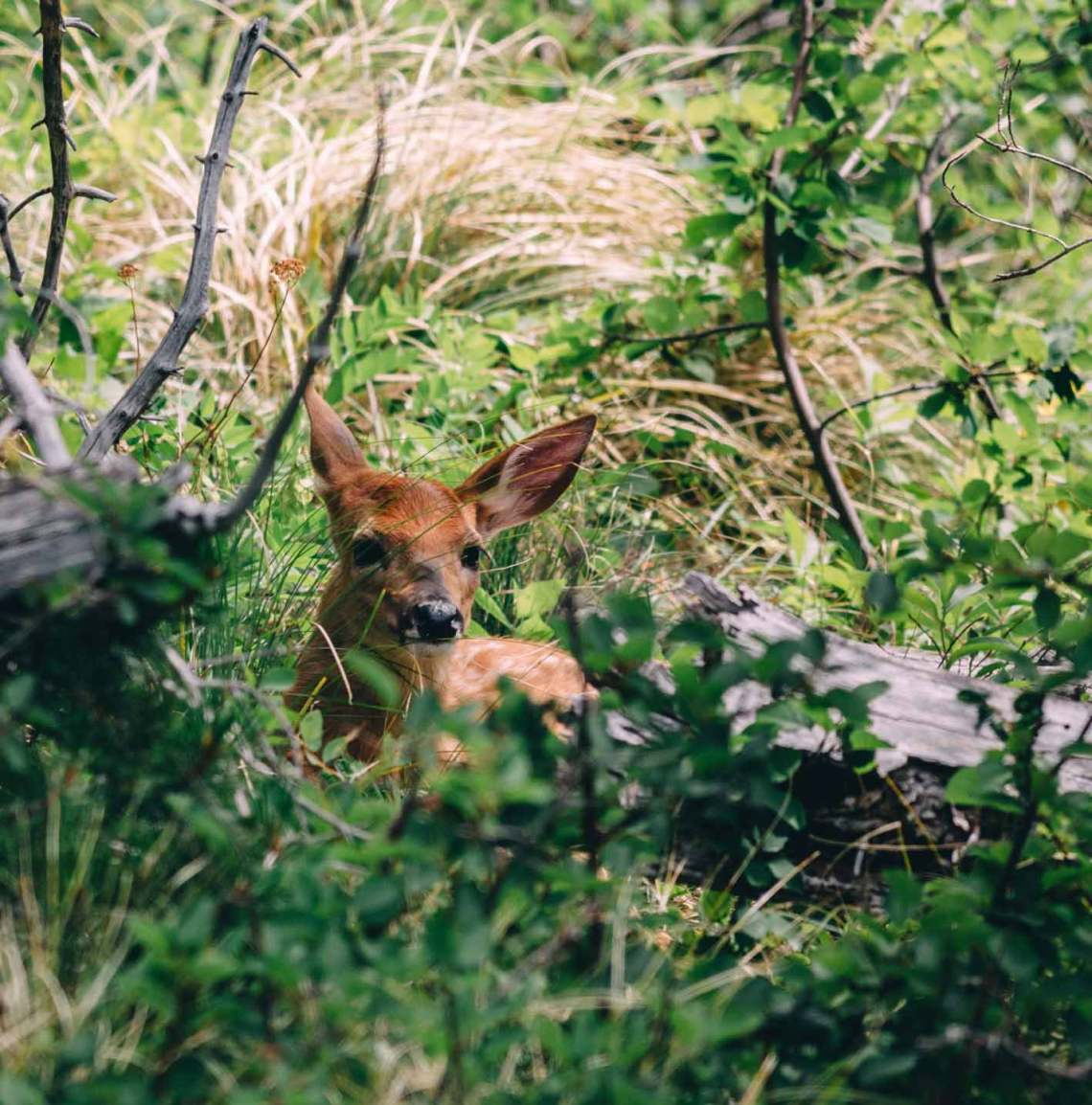 magical_glacier_national_park_fawn