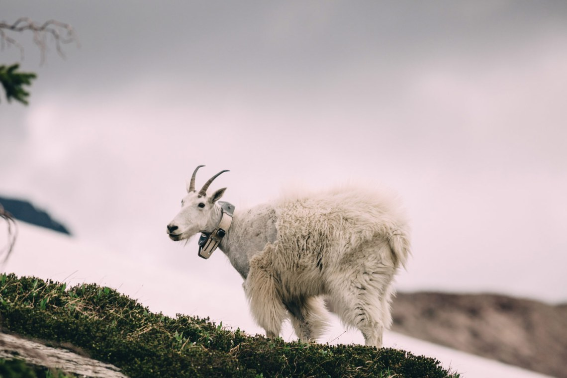ode_to_mountain_dwellers_mountain_lone_goat