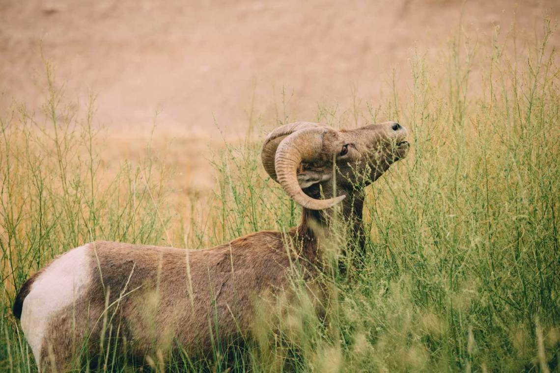 the_art_of_wind_cave_and_badlands_bighorn_noble