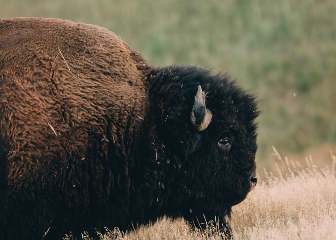 the_art_of_wind_cave_and_badlands_bison