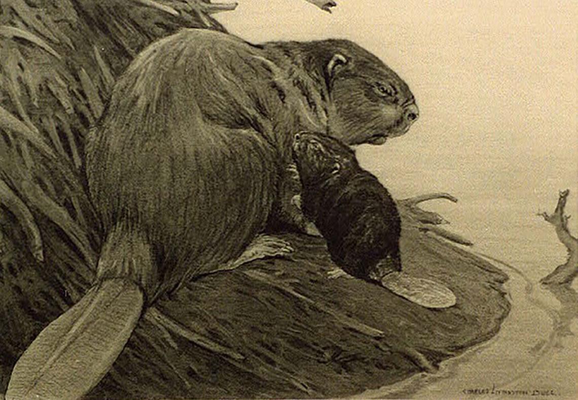 voyageurs_national_park_beaver