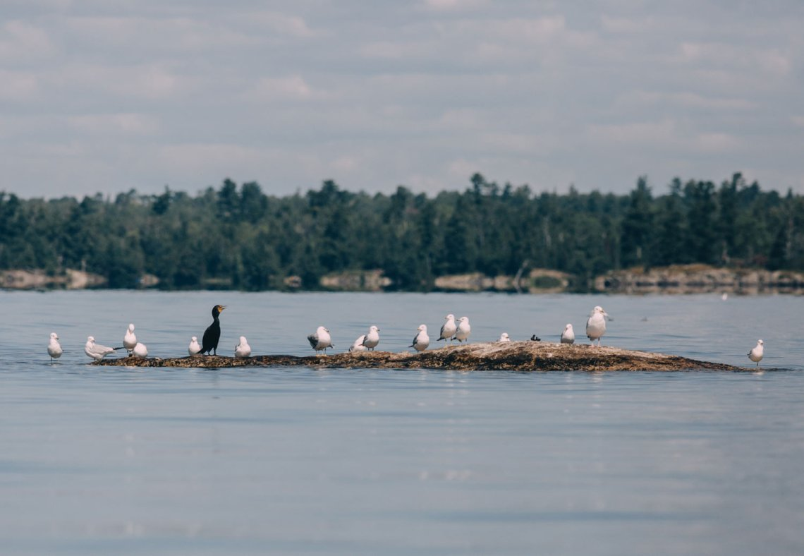 voyageurs_national_park_island_birds