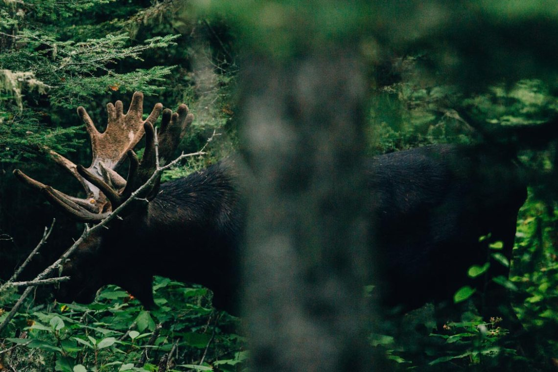 open_letter_isle_royale_moose_forest