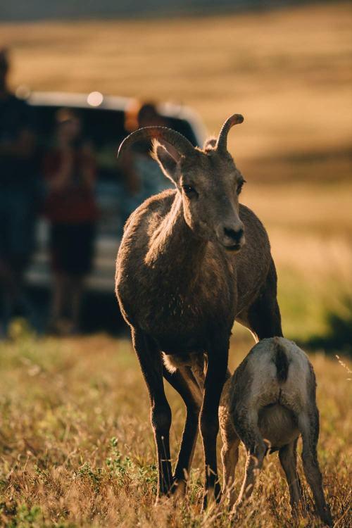 real_stars_centennial_poster_badlands_sheep_mama