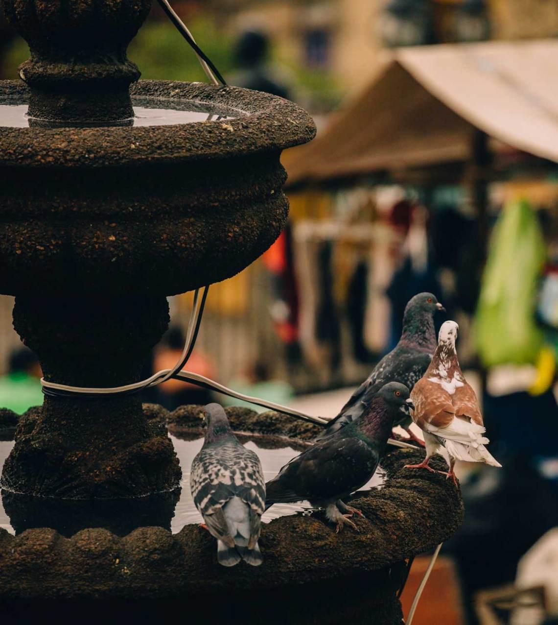 colombia_coffee_break_concordia_pigeons