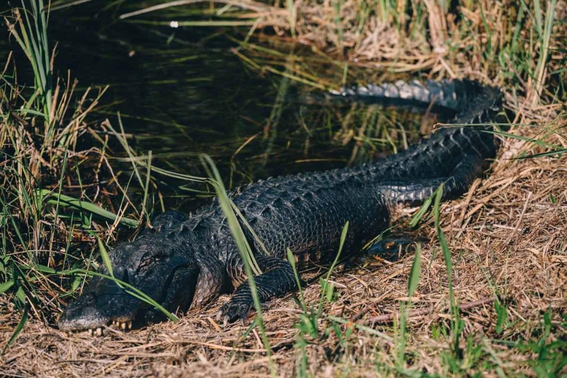 pirates_who_haunt_everglades_alligator_2