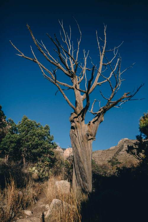 art_of_guadalupe_mountains_quest_tree
