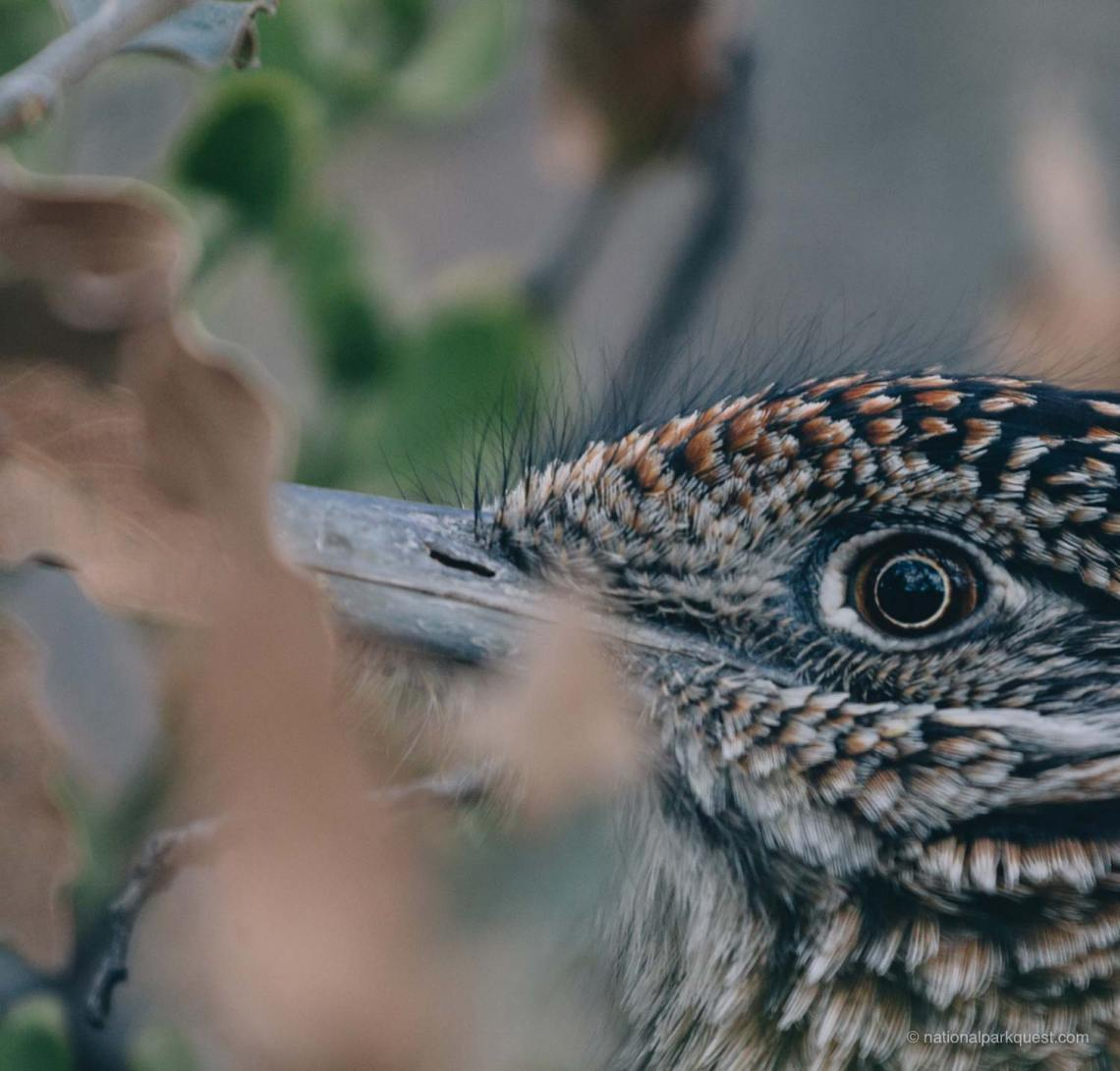 guadalupe_mountains_national_park_guadalupe_peak_roadrunner